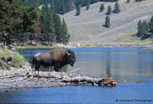 view the 3-Days in Yellowstone, 2006 & 2008, collection