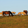 Spanish Mustangs in the Late Day Sun on Star Flower Ranch: 430614_814