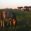 Young Foal Grazing, Other Foals, Mares, Star Flower Ranch:430614_503