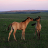 2 Young Mustang Foals Play/Bond in Twilight, Star Flower R: 430614_952