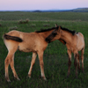 2 Young Mustang Foals Play/Bond in Twilight, Star Flower R: 430614_966