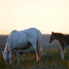 Spanish Mustang Mare & its Foal, Low Sun, Star Flower Ranch:430614_323
