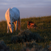 Spanish Mustang Mare & its Foal, Low Sun, Star Flower Ranch:430614_348