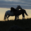Two Spanish Mustang Mares Nuzzling, Star Flower Ranch: 430614_309