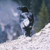 Raven Calling Above Yellowstone River, 360821_406