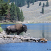 Bison Bull on the Yellowstone River, 360821_165