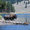 Bison Bull On the Yellowstone River, 165