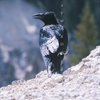 Raven Talking Above Yellowstone River, 406