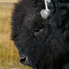 Bison Bull Greeting Me, Close –up, 380821_0700