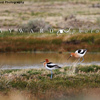 2 American Avocets on the Bank of a Ranch Stock Pond, 390513_332
