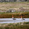 2 American Avocets on the Bank of a Ranch Stock Pond, 390513_350