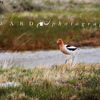 American Avocet on the Bank of a Ranch Stock Pond, 390513_355
