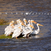 White Pelican Gather Tightly On Medicine Bow River, 390519_0341