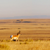 Lone Pronghorn Buck Looking Over Rock River Valley, 401021_058
