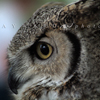 Great Horned Owl Profile, 020