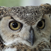 Great Horned Owl, Front, 021