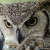 Great Horned Owl, Looking Down, 025
