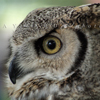 Great Horned Owl Profile, 028