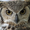 Great Horned Owl, Looking At Me, 032