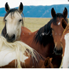 Four Captive Wild Mustangs Check Me Out, 030