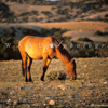 Wild Mustang Mare Feeding, In Very Early Sunlight, 300701_2_15