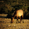 Wild Mustang Mare Feeding, In Very Early Sunlight, 300701_2_19