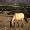 Wild Mustang Mare Feeding, In Very Early Sunlight, 300701_2_027