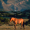 Wild Mustang Mare Feeding, In Very Early Sunlight, 300701_2_034