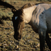 Wild Mustang Mare Feeding, In Very Early Sunlight, 300701_3_08