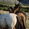 Wild Mustang Stallion With Two of His Mares, 300701_3_09
