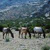 Wild Mustangs; Black Stallion, 3 of his Mares Grazing-300701_4_31