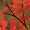 Bright Red Wild Rose Leaves, Vedauwoo
