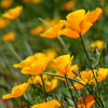 California Poppies in Full Bloom , Horiz