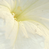 Macro Photo of White Petunia with Early Morning Dew