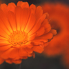 Close Up Photo of Two Calendula Flowers