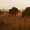 Bison Silhouetted in Late Afternoon Daylight: 044