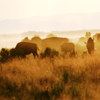 Group of Bison Silhouetted in Dust and Late Day Sun: 062