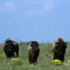 Two Bison Bulls and one Cow Facing Toward Me:  229