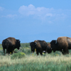 Small Group of Large Bison Herd on Prairie.  252