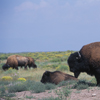Bison Bull Standing Over Bison Calf.  281