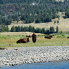 Bison Bull Guarding His Cow, Lamar Valley Yellowstone
