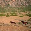 Three Wild Horses Running in Early, Orange Sunlight