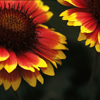 Two Red/Yellow Gaillardia Flowers Photographed in Browns Park Colorado
