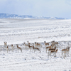 Herd of over 35 Pronghorn, Shirley Basin, North Carbon County;247_3Pan