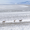 Herd of over 35 Pronghorn, Shirley Basin North Carbon County; 263_3Pan