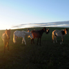 Sunrise on Mustang Mares/Foals on the Star Flower Ranch: 430614-436