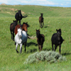 Group of Mustangs Run Toward Us on the Star Flower Ranch: 430614_095