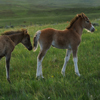 Small Foal Follows Young Mustang Leader, Star Flower Ranch: 430614_294